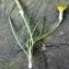 Liliane Roubaudi - Podospermum laciniatum (L.) DC.