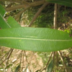 Photographie n°73325 du taxon Nerium oleander L. [1753]