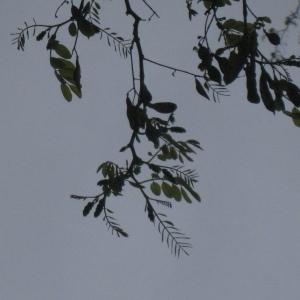 Photographie n°73411 du taxon Robinia pseudoacacia L.