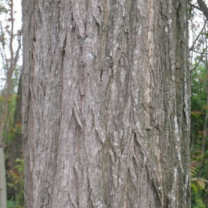 Photographie n°73413 du taxon Robinia pseudoacacia L.