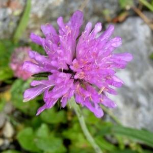 Photographie n°73480 du taxon Knautia arvernensis (Briq.) Szabó