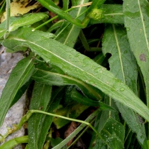 Photographie n°73482 du taxon Knautia arvernensis (Briq.) Szabó