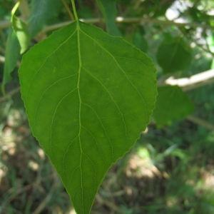 Photographie n°73508 du taxon Populus nigra L.