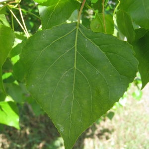 Photographie n°73509 du taxon Populus nigra L.