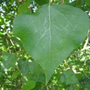 Photographie n°73514 du taxon Populus nigra L.