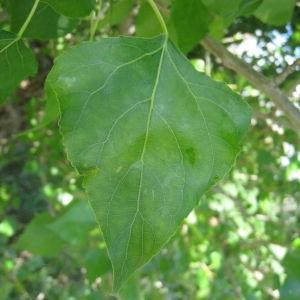 Photographie n°73515 du taxon Populus nigra L.