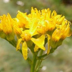 Jacobaea adonidifolia (Loisel.) Mérat (Séneçon à feuilles d'adonis)