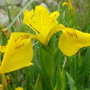 Photographie n°73532 du taxon Iris pseudacorus L. [1753]