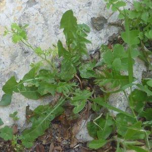 Photographie n°73750 du taxon Taraxacum officinale Weber [1780]