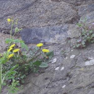 Photographie n°73807 du taxon Taraxacum officinale Weber [1780]