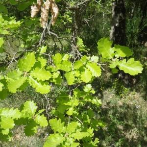 Photographie n°73877 du taxon Quercus pubescens Willd. [1805]