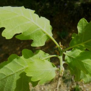 Photographie n°73879 du taxon Quercus pubescens Willd. [1805]