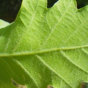 Photographie n°73880 du taxon Quercus pubescens Willd. [1805]