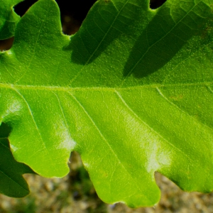 Photographie n°73881 du taxon Quercus pubescens Willd. [1805]