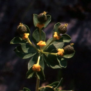 Photographie n°73901 du taxon Euphorbia flavicoma subsp. mariolensis (Rouy) O.Bolòs & Vigo [1974]
