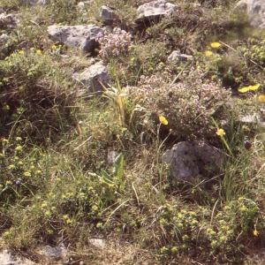 - Euphorbia flavicoma subsp. mariolensis (Rouy) O.Bolòs & Vigo [1974]