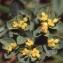 Liliane Roubaudi - Euphorbia flavicoma subsp. mariolensis (Rouy) O.Bolòs & Vigo [1974]