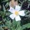 Genevieve Botti - Cistus monspeliensis L.
