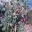 Genevieve Botti - Lavatera arborea L.