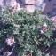 Genevieve Botti - Thymus vulgaris L.