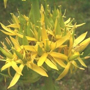 Gentiana lutea L. (Gentiane jaune)