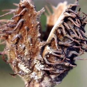 Photographie n°73987 du taxon Fagus sylvatica L.