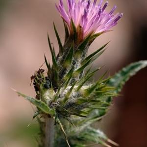 Carduus pycnocephalus L. (Chardon à capitules denses)