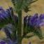Michaël Martinez - Echium vulgare L.