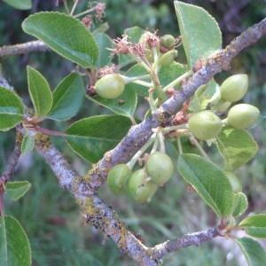 Photographie n°74065 du taxon Prunus mahaleb L.