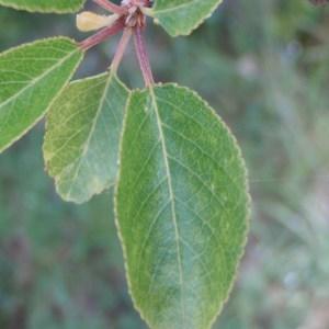 Photographie n°74066 du taxon Prunus mahaleb L.