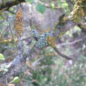 Photographie n°74067 du taxon Prunus mahaleb L.