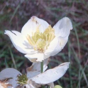 Photographie n°74071 du taxon Thalictrum tuberosum L. [1753]