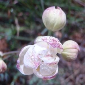 - Thalictrum tuberosum L. [1753]