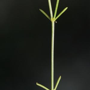 Photographie n°74090 du taxon Asperula cynanchica L.