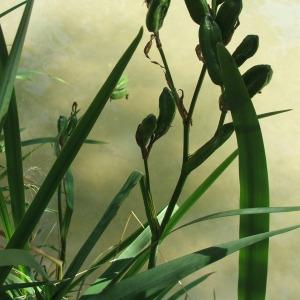 Photographie n°74093 du taxon Iris pseudacorus L. [1753]