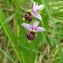 Rémy GENTNER - Ophrys fuciflora (F.W.Schmidt) Moench [1802]