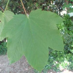 Photographie n°74158 du taxon Acer pseudoplatanus L.