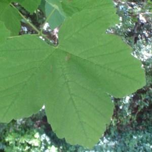 Photographie n°74159 du taxon Acer pseudoplatanus L.