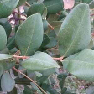 Photographie n°74180 du taxon Ceratonia siliqua L.