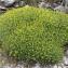 John De Vos - Euphorbia spinosa L. [1753]