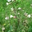 DIDIER FEBVRE - Silene latifolia Poir. [1789]