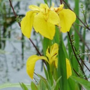 Photographie n°74264 du taxon Iris pseudacorus L. [1753]