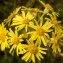 liliane Pessotto - Tephroseris helenitis subsp. helenitis