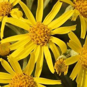 - Tephroseris helenitis subsp. helenitis