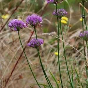Photographie n°74281 du taxon Allium lusitanicum Lam. [1783]