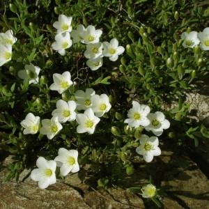 Photographie n°74287 du taxon Arenaria montana L. [1755]