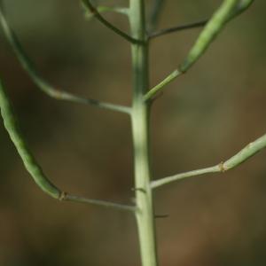 Photographie n°74325 du taxon Brassica rapa L. [1753]