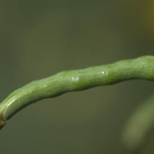 Photographie n°74326 du taxon Brassica rapa L. [1753]