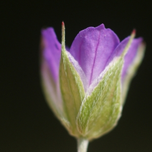 Photographie n°74354 du taxon Geranium columbinum L.