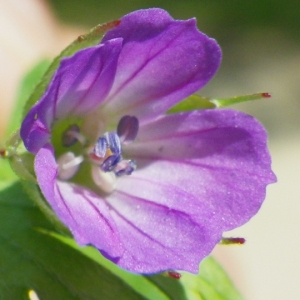 Photographie n°74355 du taxon Geranium columbinum L.